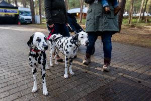 Two Dalmatians at the start line at Krawatencross